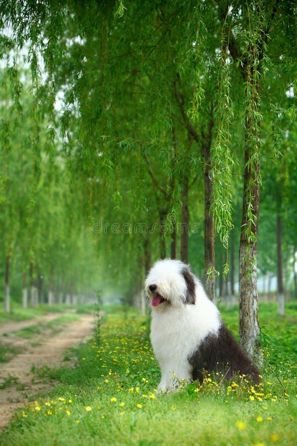 Sheepdog velho inglês fotografia de stock royalty free
