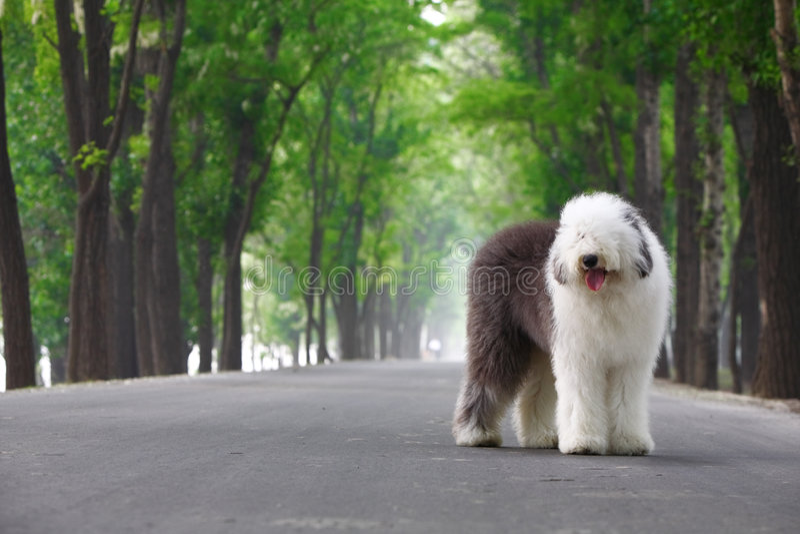 Sheepdog velho inglês foto de stock