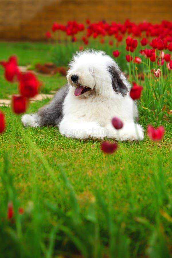Sheepdog velho inglês imagens de stock royalty free
