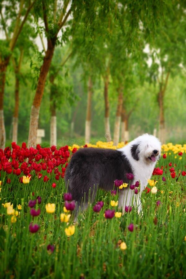 Sheepdog velho inglês imagem de stock royalty free
