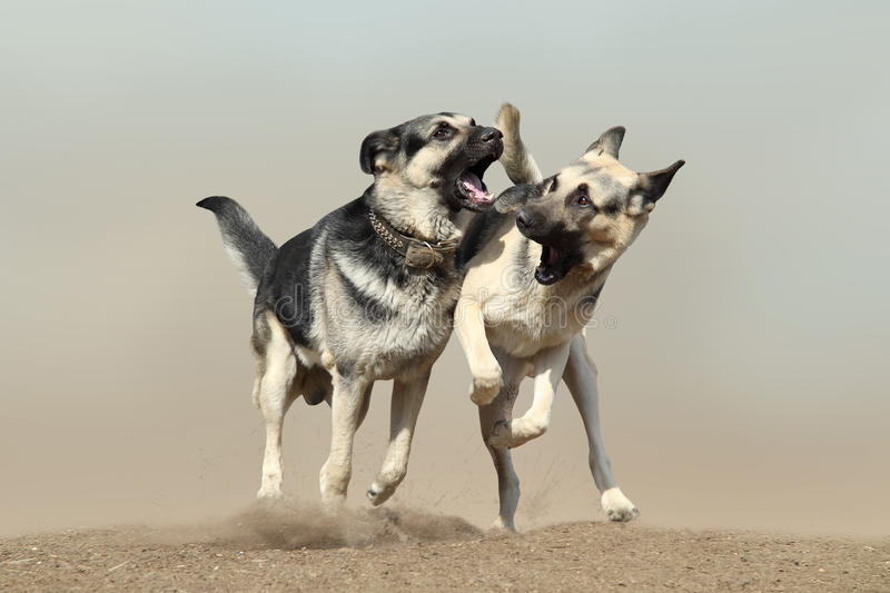 Sheepdogs. Two East European sheepdogs fighting in dust stock photography