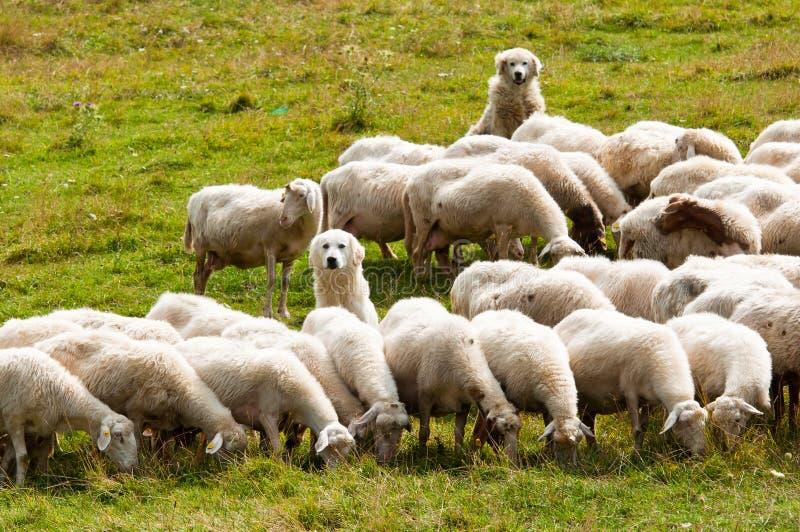 Sheepdogs royalty free stock photos