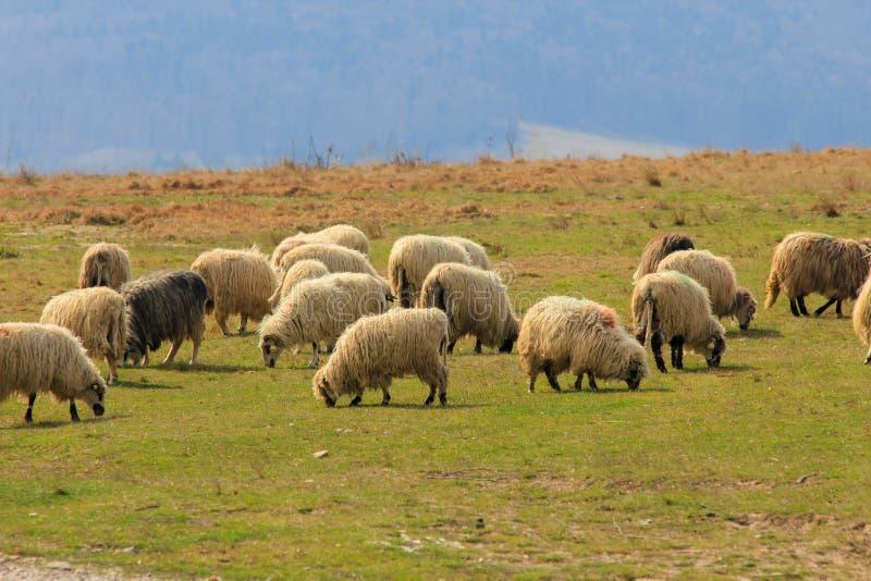 sheepfold 库存图片