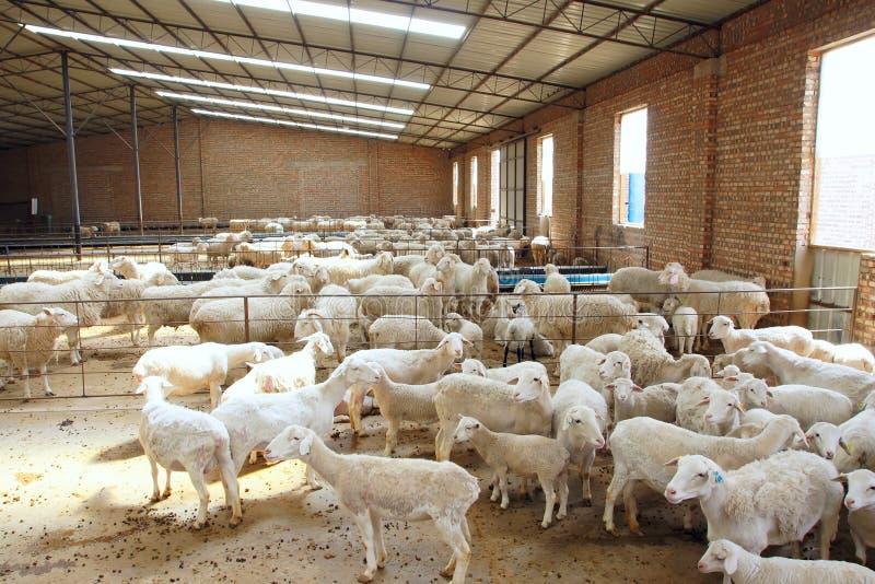sheepfold immagine stock