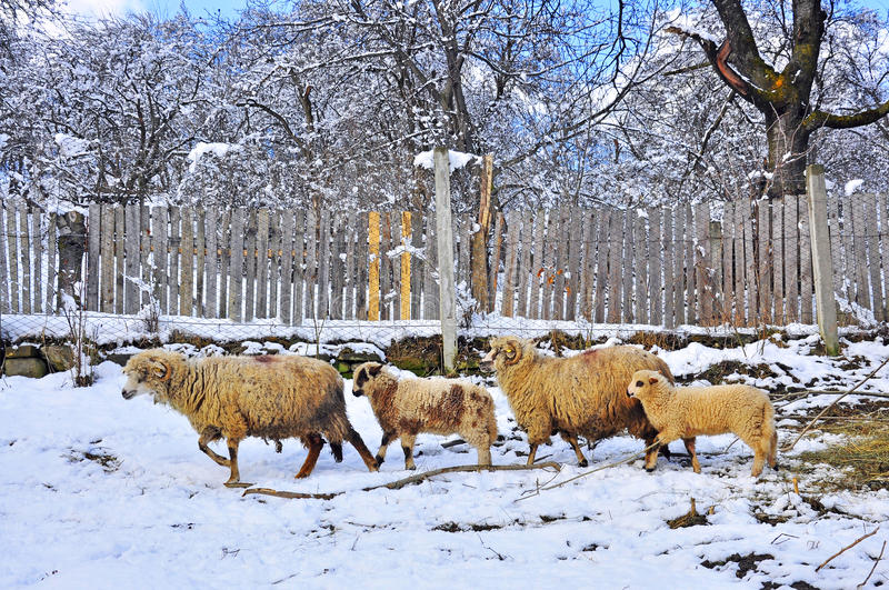 Download Sheepfold in winter farm stock image. Image of eastern - 18683755
