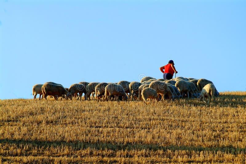 sheepherd 库存图片