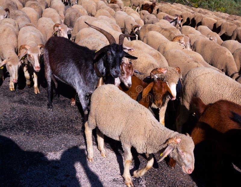 Sheepherd στοκ εικόνες με δικαίωμα ελεύθερης χρήσης