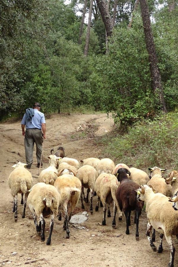Sheepherder met zijn schapentroep in het bos stock fotografie