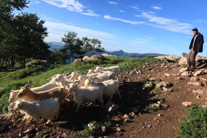 Sheepherder y ovejas imagen de archivo