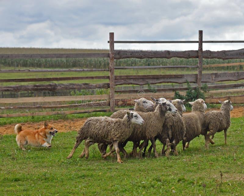 Sheepherding grupp för walesisk Corgi av får arkivfoto