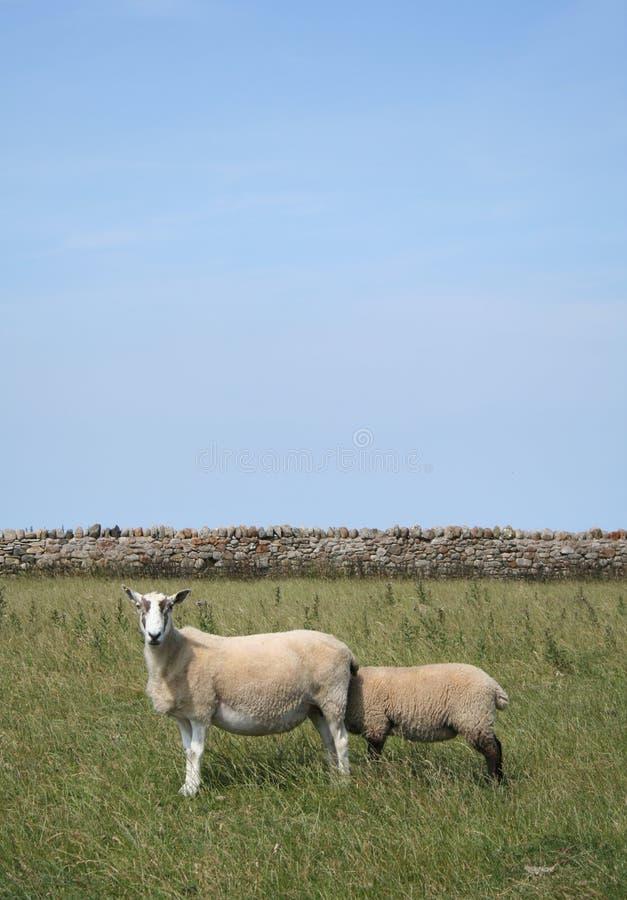 Sheepish 1 stock photos