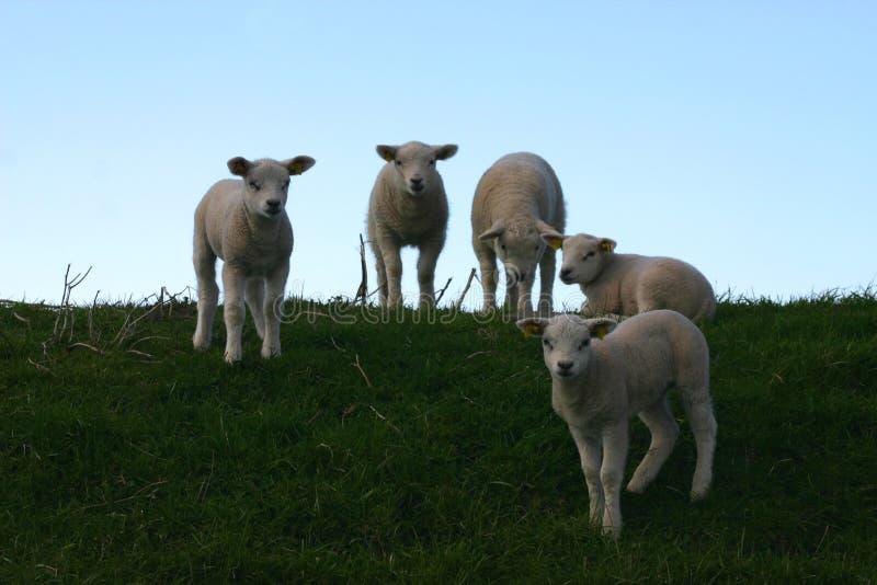 sheepish στοκ εικόνα