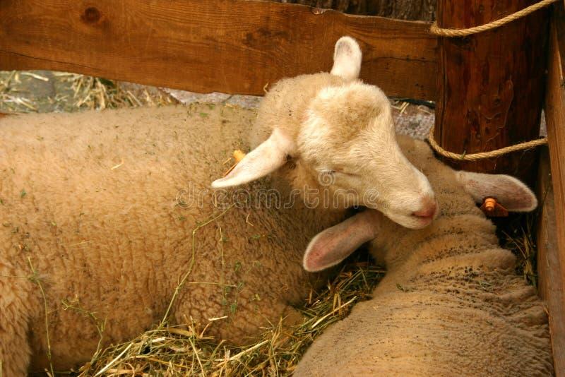 Sheeps à la stalle photo libre de droits