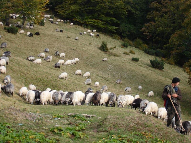 Sheeps ουκρανικά Carpathians Πρόβατα κατά τη βοσκή στα βουνά στοκ φωτογραφίες