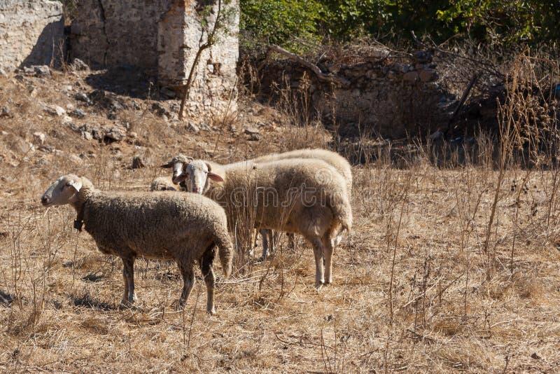 Sheeps σε μια πόλη-φάντασμα Kayakoy στοκ φωτογραφία