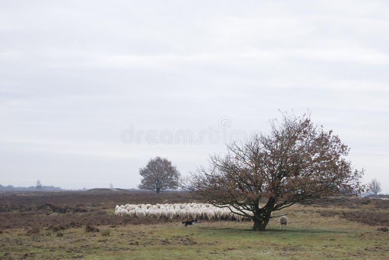 Sheeps στην ερείκη στοκ φωτογραφία