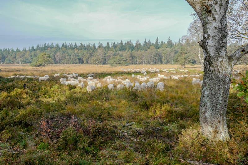 Sheeps στην ερείκη Elspeter στοκ φωτογραφία με δικαίωμα ελεύθερης χρήσης