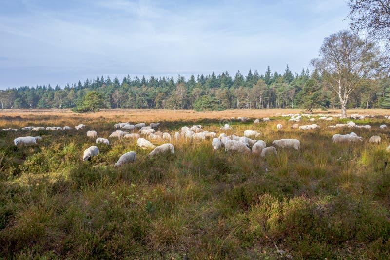 Sheeps στην ερείκη Elspeter στοκ φωτογραφίες με δικαίωμα ελεύθερης χρήσης
