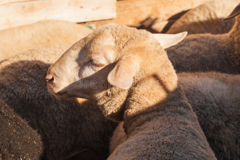Sheeps στο αγρόκτημα στοκ εικόνες