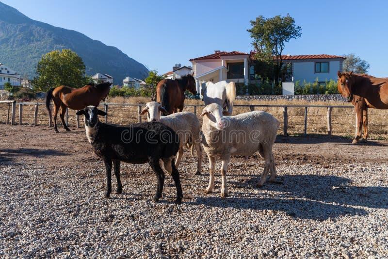 Sheeps στο αγρόκτημα στοκ εικόνες με δικαίωμα ελεύθερης χρήσης