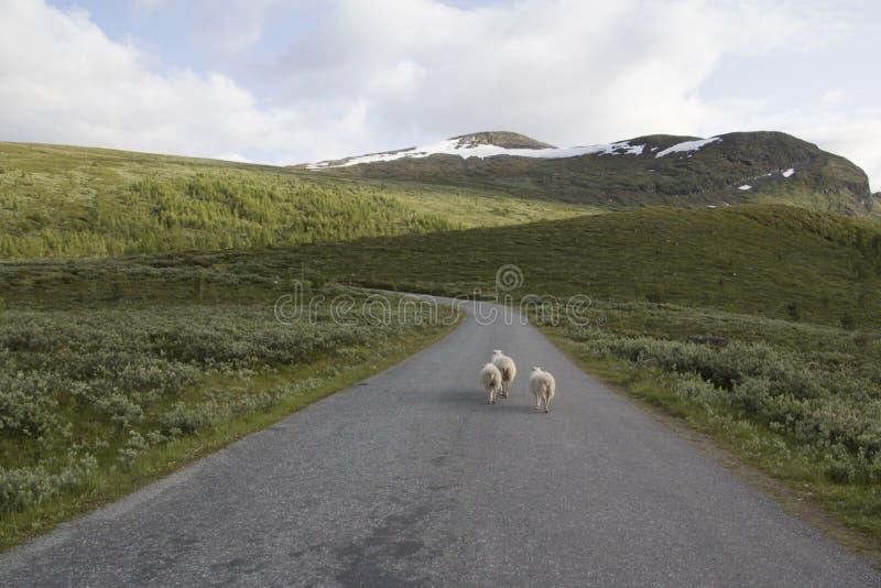 Sheeps στο βουνό στο νορβηγικό εθνικό πάρκο στοκ εικόνες με δικαίωμα ελεύθερης χρήσης