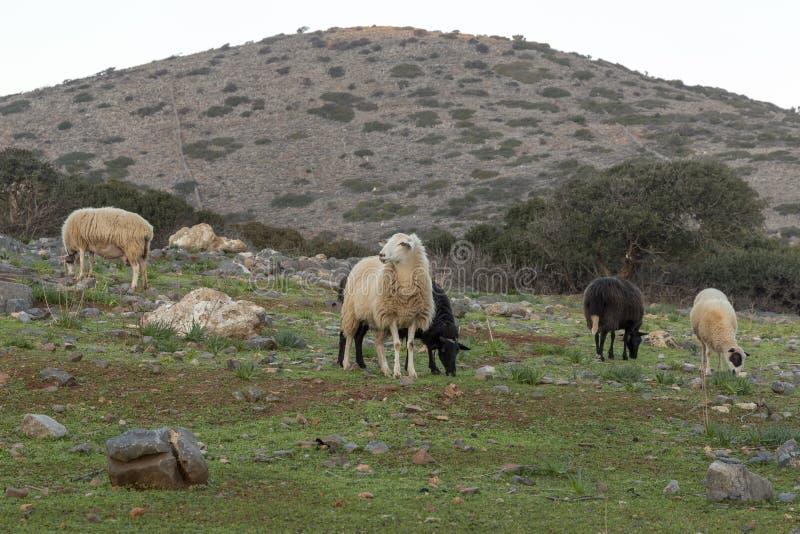Sheeps στο βουνό στην Κρήτη Ελλάδα στοκ φωτογραφίες με δικαίωμα ελεύθερης χρήσης