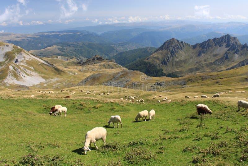 Sheeps στο korab στοκ φωτογραφία