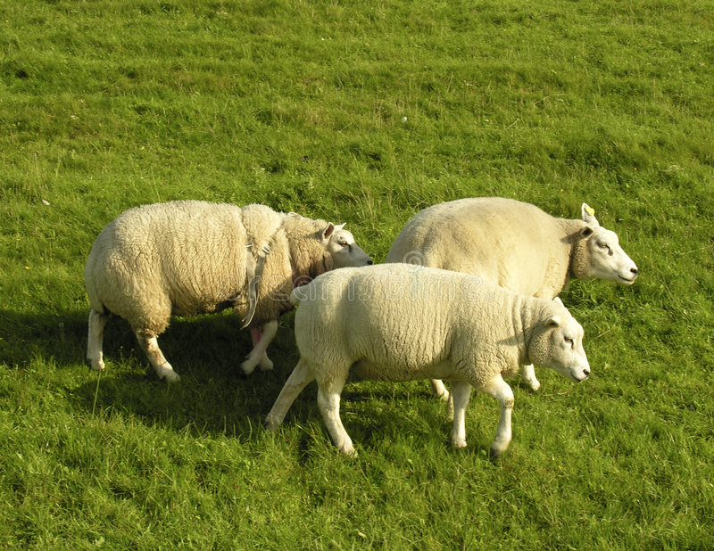 sheeps τρία στοκ φωτογραφία με δικαίωμα ελεύθερης χρήσης