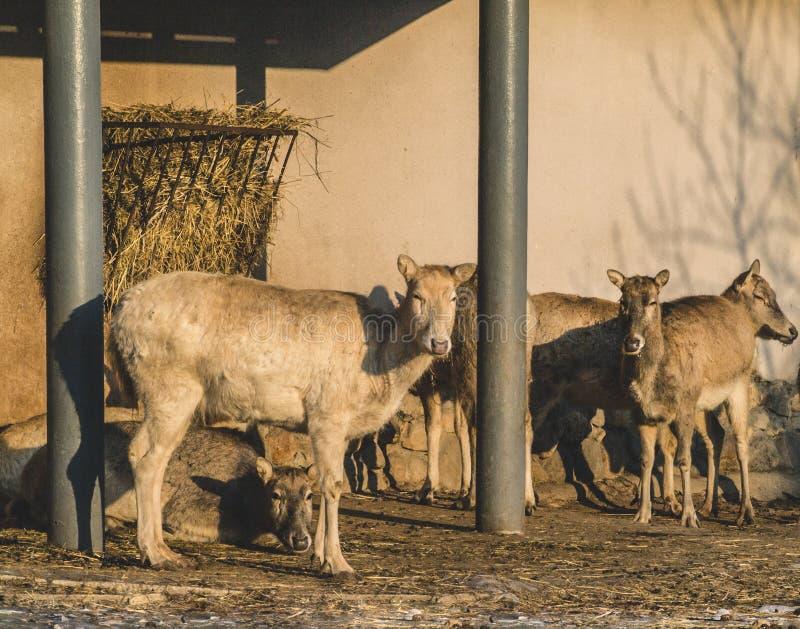 Sheeps royaltyfri bild