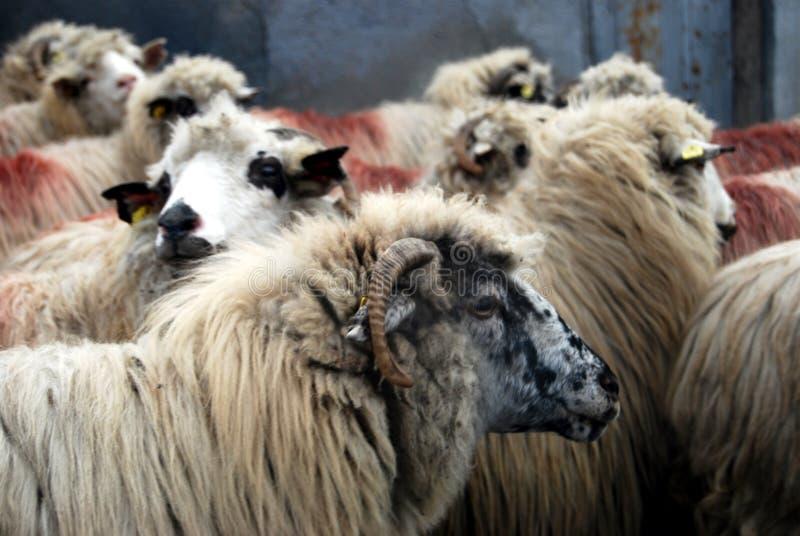 Sheeps stock foto's