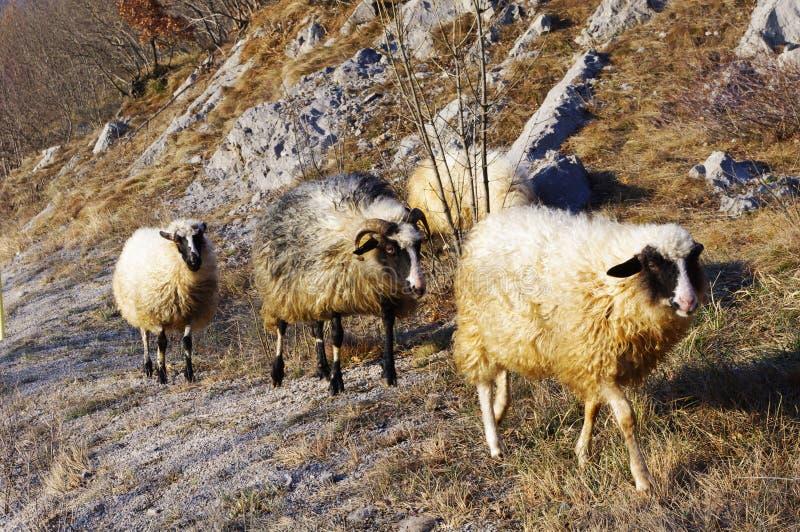 sheeps royaltyfria foton