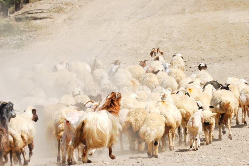 Download Sheeps obraz stock. Obraz złożonej z greenbacks, rolnictwo - 13325017