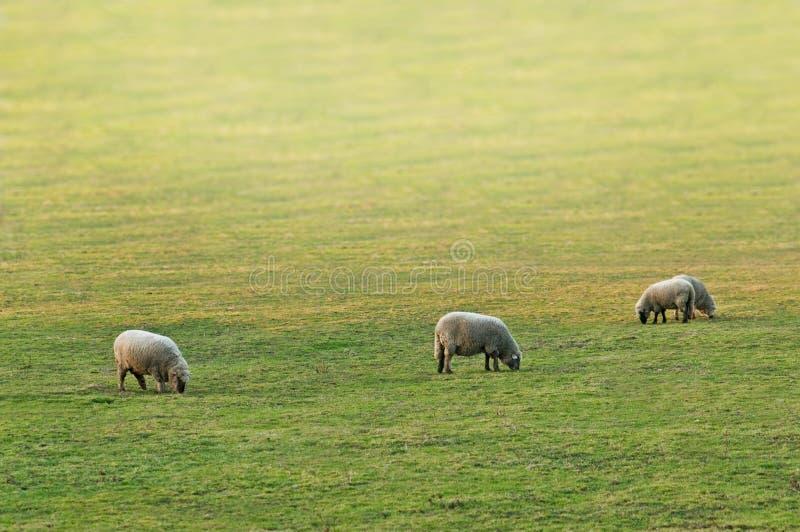 sheeps zdjęcie royalty free