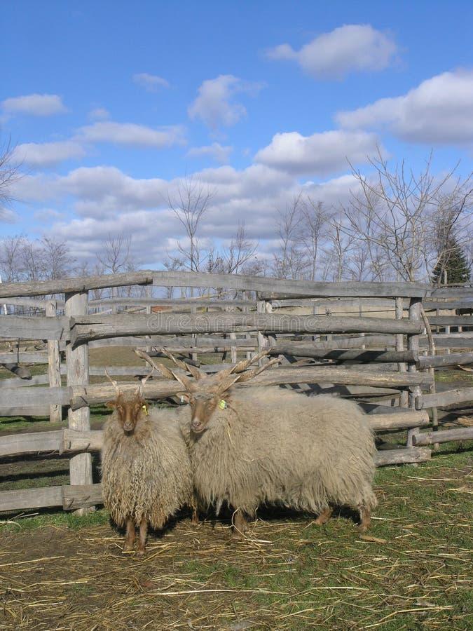 Sheeps imagem de stock royalty free