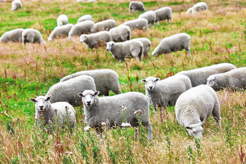 Download Sheeps stock image. Image of husbandry, group, grass - 23808951