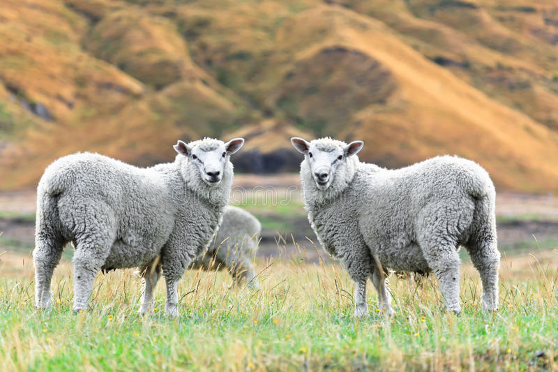 Sheeps Royalty Free Stock Image