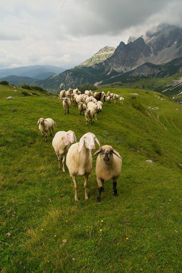 Download Sheeps stockfoto. Bild von schnee, wolke, leute, bauernhof - 26352768
