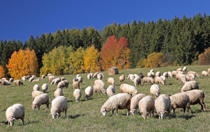 Sheeps immagine stock