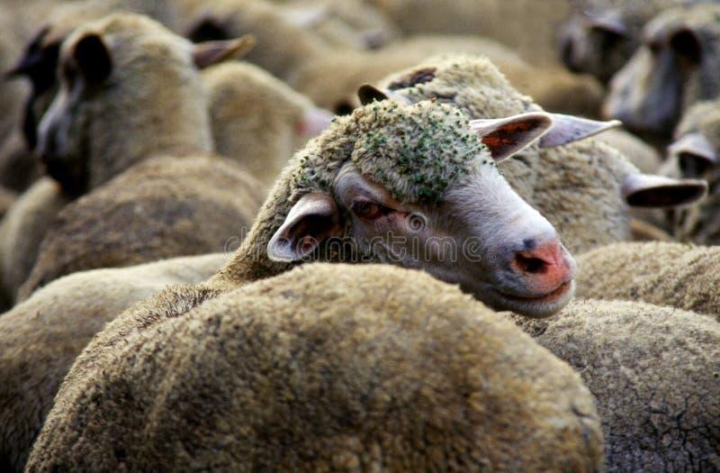 Sheeps royalty-vrije stock afbeelding