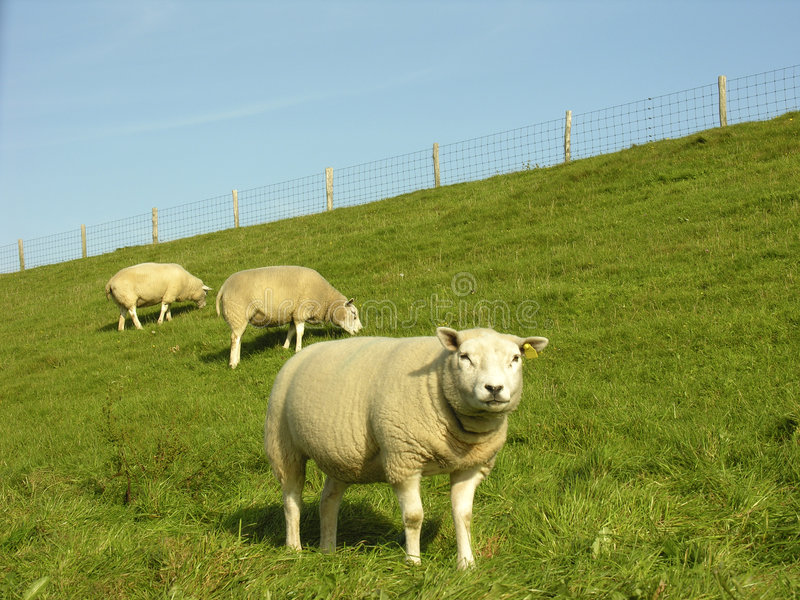 sheeps стоковое фото rf