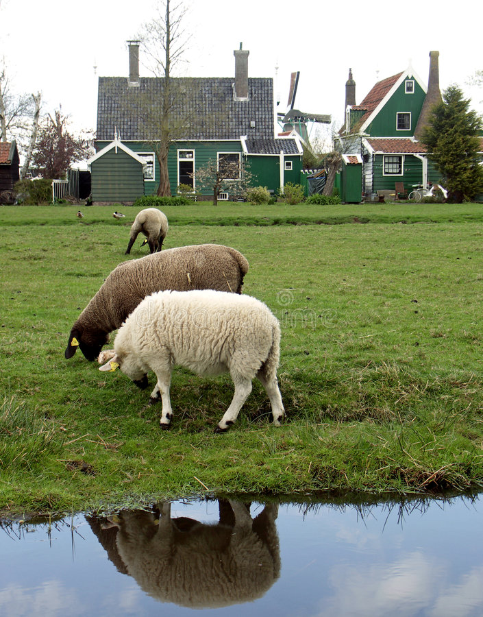 Sheeps #3 stockbild