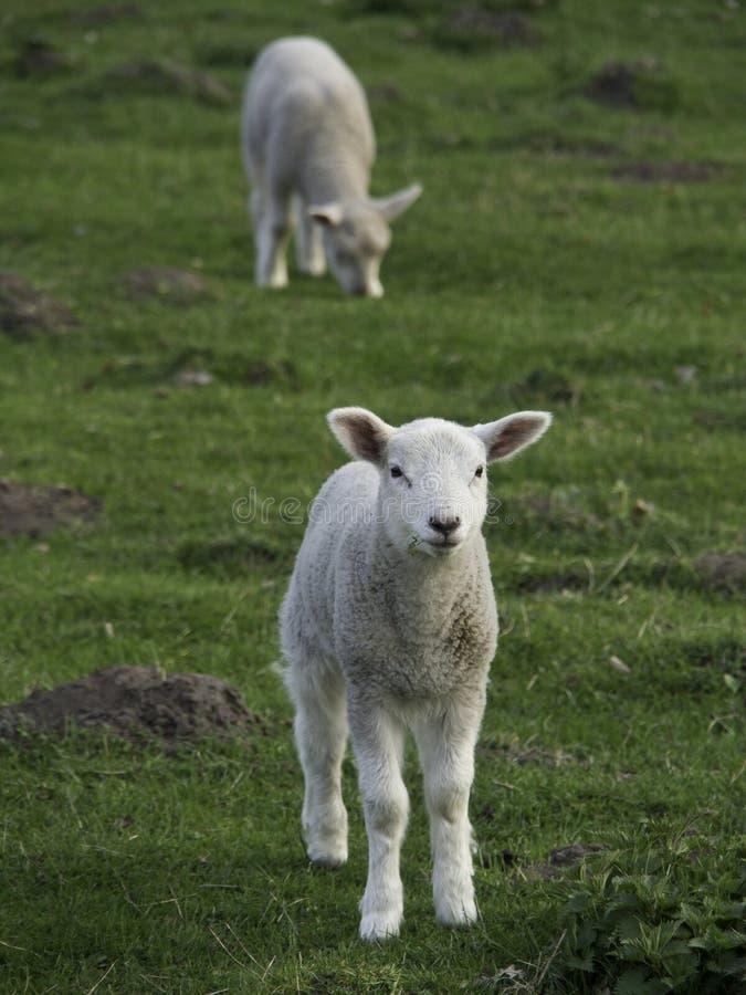 Sheeps royalty-vrije stock fotografie