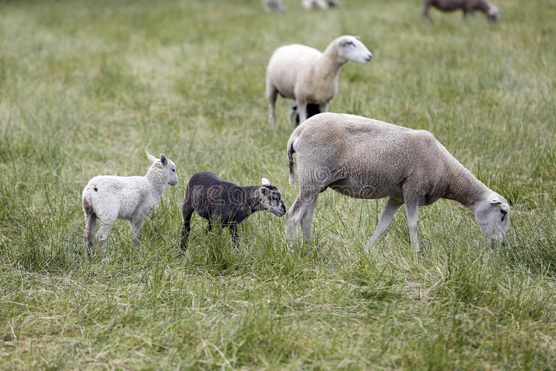 Download Sheeps zdjęcie stock. Obraz złożonej z ziemia, smarujący - 41951118