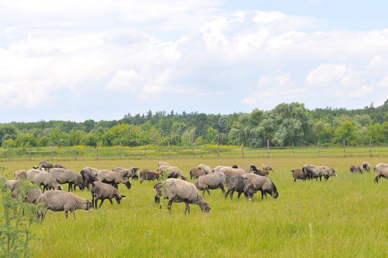 Sheeps zdjęcie stock