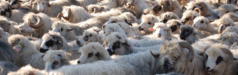 Sheeps imagens de stock