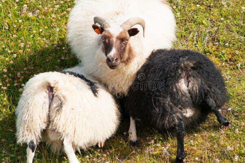 Sheeps royaltyfria bilder