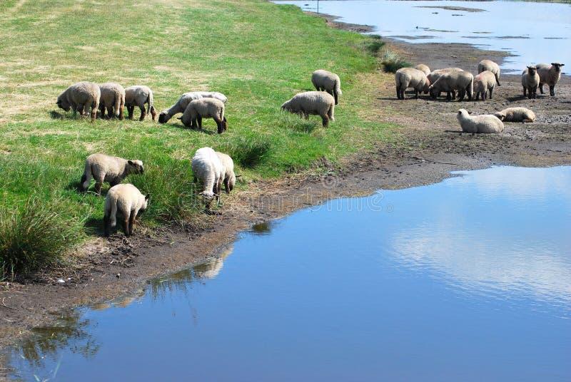 Sheeps stock afbeelding