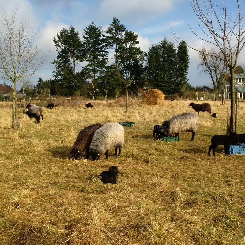 Sheeps royalty-vrije stock foto's