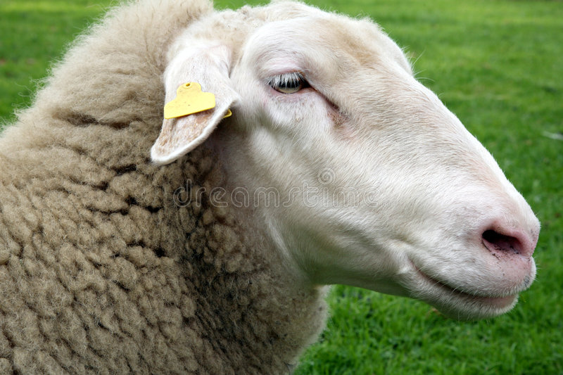 Sheeps foto de stock