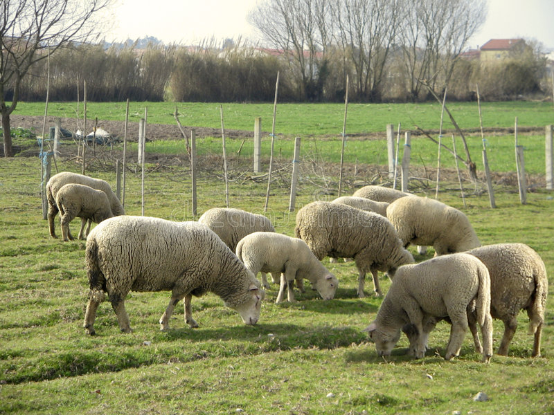 Sheeps fotografía de archivo